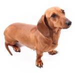 Dachshund Wiener Dog